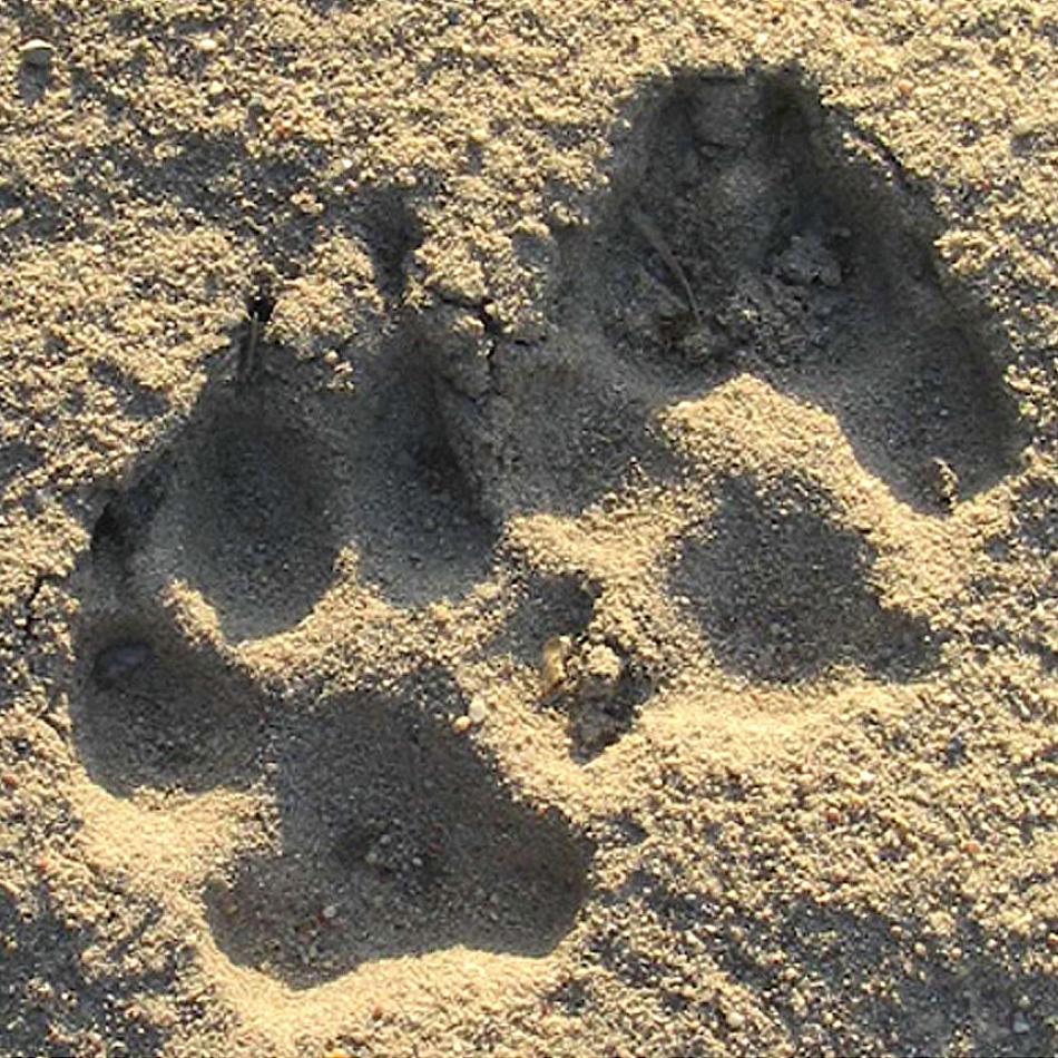 Wolfsspuren, entdeckt bei einer Wolfswanderung
